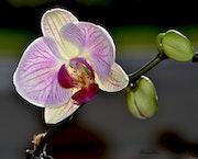 Elegante orchidee.