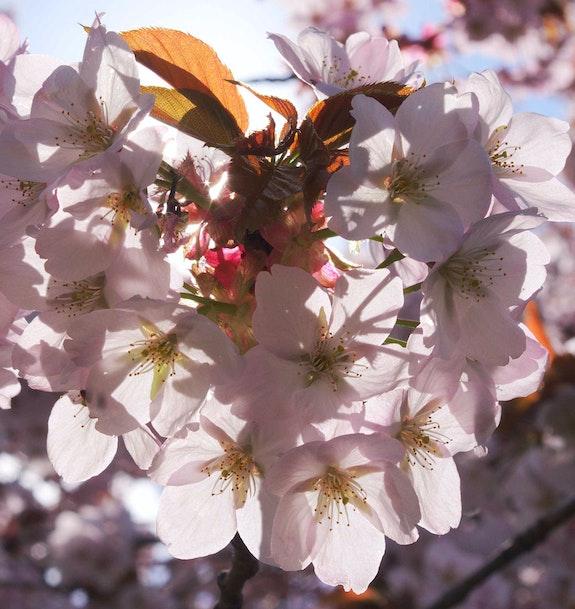 Cerisiers en fleurs. J. B Bonnet Jean-Brice Bonnet