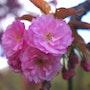 Cerisiers en fleurs. Jean-Brice Bonnet