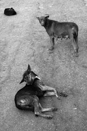 Birmanie Photos Peintes_Chiens. Ramon