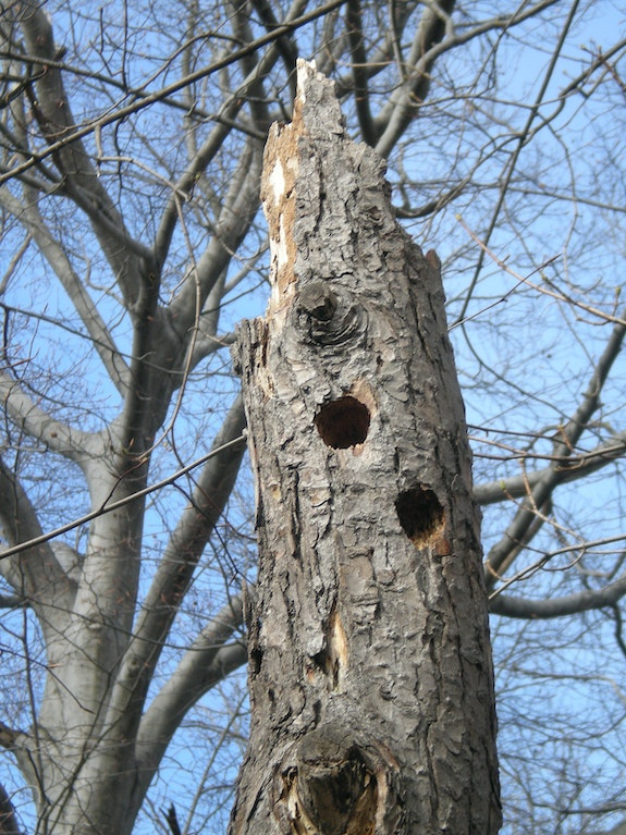 Woodpecker Nests. Christopher T. George Christopher T George