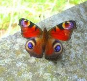 Un papillon multicolor sur une pierre qui habillait une ancienne cheminée.