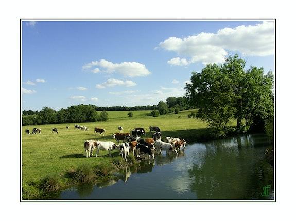 Aisne - Vaches buvant dans Le Thon à Harcigny (Ref 9510). Thieffine Lionel Lionel Thieffine