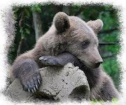 Petit ours brun.