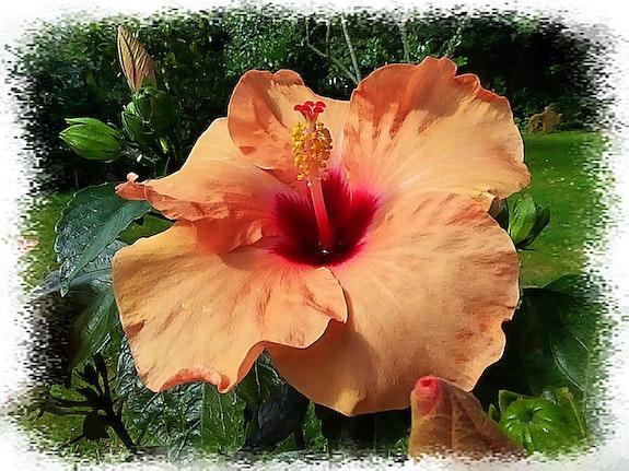 Généreuse fleur d'hibiscus. Anne-Lucie Tarrie Altarrié