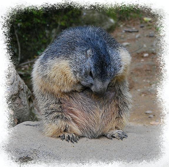La marmotte atteinte de nombrilisme !. Anne-Lucie Tarrie Altarrié