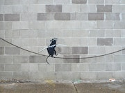 Rat walking on a rope.