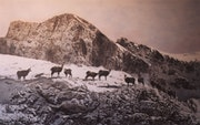 Chamois en montagne.