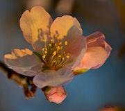 Crépuscule sur fleur d'Amandier.