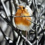 Cheeky chappy (robin in hedge). Ivan Jones
