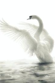 Cygne blanc.