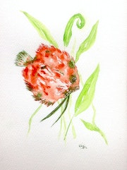 Discus, aquarelle originale 18x25cm, illustration poisson aquarium.