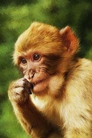 Le petit Macaque. Boris Selke