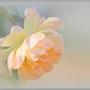 Rose poudrée. Christelle Vinot