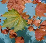 Leaves on the water. Steve Foster Macadams