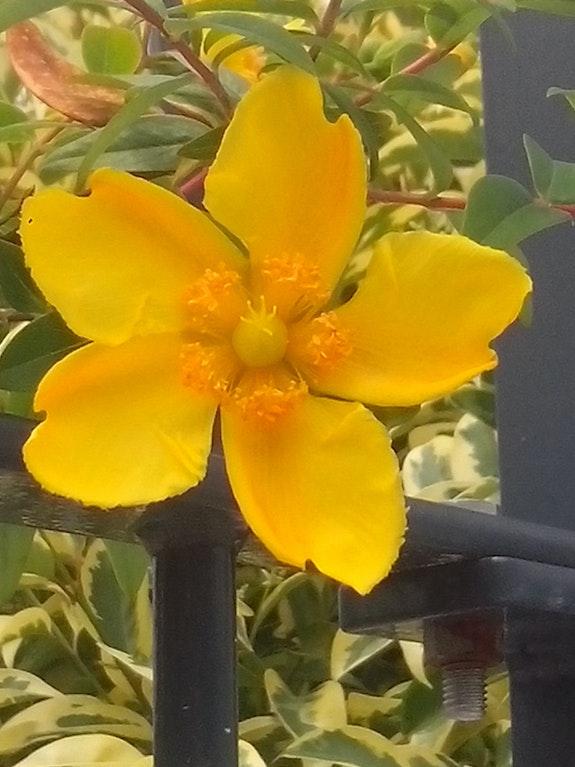 Fleur étoile. Sandra Ezeyel