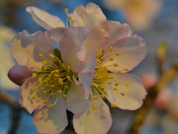 Amandier en floraison suite…. Martine Dugue Martine Dugue