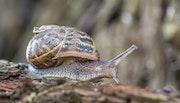 Snail walking. Tiff