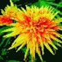 Garden Beauty. Willssb