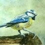 Mésange bleue. Marc Pfund
