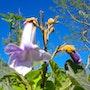 Paulownia, ma première fleur! ! ! ! ! !. Fk