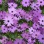 2016-05-22 Fleurs jardin marguerites du Cap. Jpg. Michel Normand