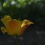 Une tulipe dans l'ombre. Mite02