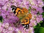 Papillon sur sedum spectabile brillant.