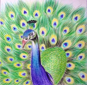 Enticing peacock drawing. Oregano Art