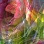 Coeur de fleur. Zizou