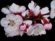 Fleurs d'abricotiers.
