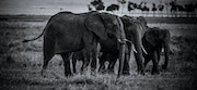 Save Elephants from extinction..
