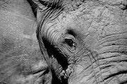 Save Elephants from extinction - Tear of elephants.