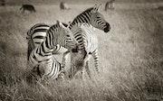 Stripes in the savanna.