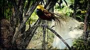 Oiseau du paradis.