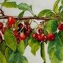 French Cherries. Nicole Curreri