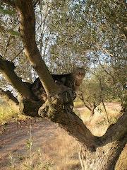 Sur l'olivier.