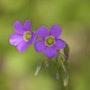 Violettes. Fabienne Trubert