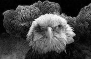 Aguila.
