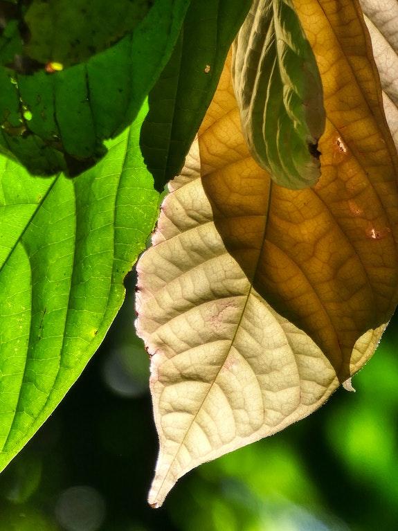 Three-colored foliage. Sylvie Lebchek Solena432