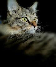Chat siberien.