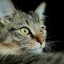 Siberien chat. Nadidomp