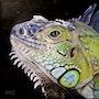 Iguane. Vanessa Moinier