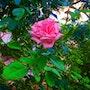 Rose d'admiration…. Sophie Rac
