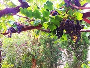 Branche de Raisins….