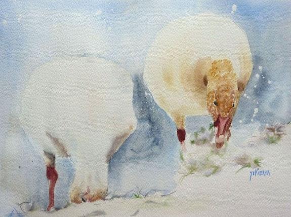 Les oies blanches au Canada. Yokozaza Yokozaza