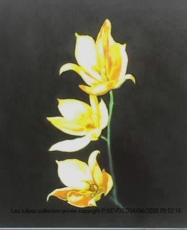 Reproduction d'une variété de tulipe ancienne.. Patrick Nevoso Patrick Nevoso