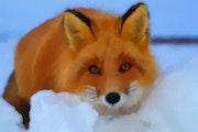 Renard dans la neige. Marie Carteron