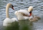 Couple de cygne et leurs bébés.