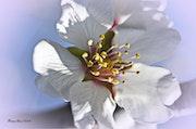Fleur d amandier au parfum de miel.